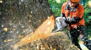 Tree Removal Moores Pocket